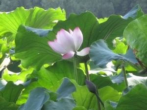 West Lake, Hangzhou Lotus Blooming in Garden