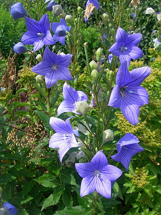 Campanula or Chinese bell flower